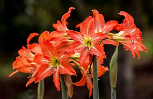 flowers blooms hippeastrum