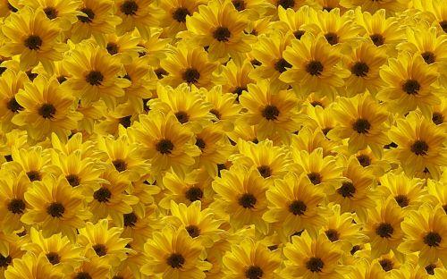 flowers yellow nature