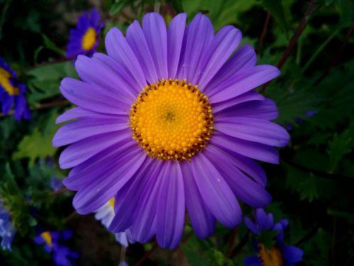 flowers margaritas violet