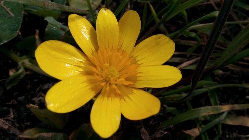 flowers margaritas yellow