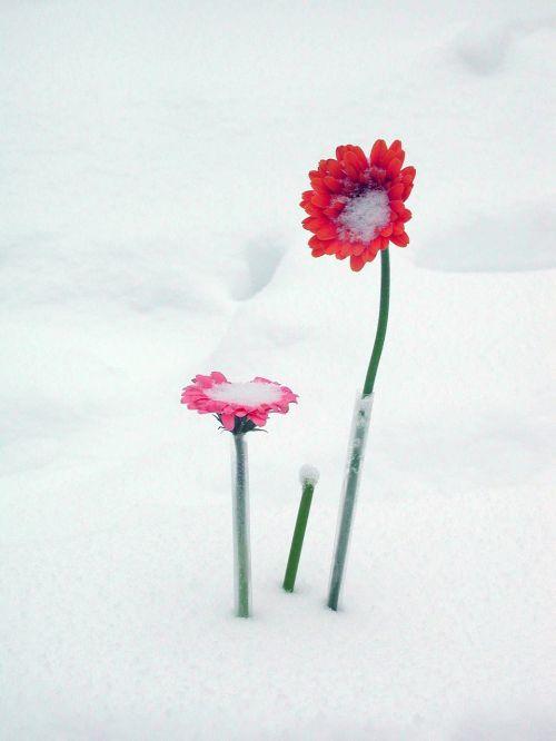 flowers snow gerber
