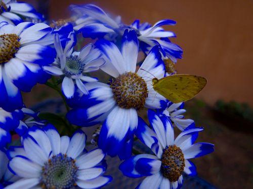 butterfly margaritas flowers