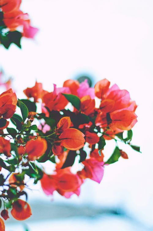 flowers orange pink