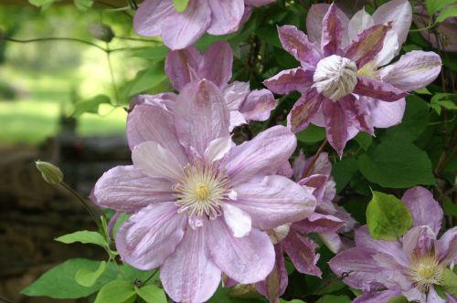 flowers purple flowers garden