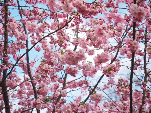 flowers pink tree