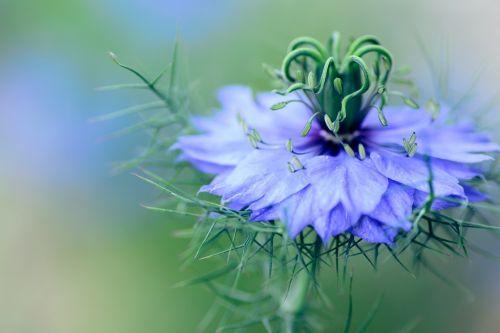 flowers nigella plant