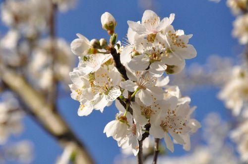 flowers cherry plum
