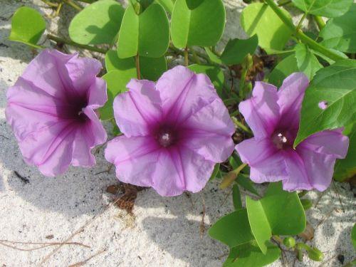 getfotsipomea beach flower ipomoea pes-caprae