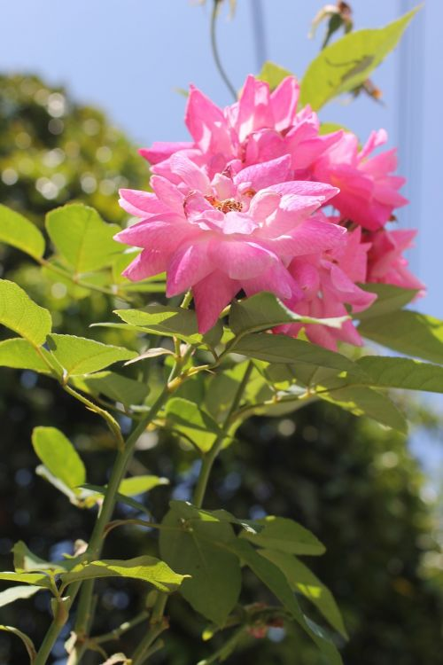 flowers nature rosa