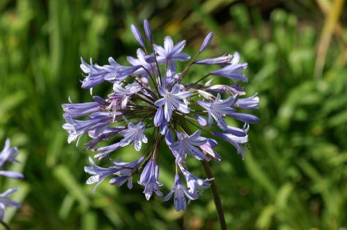 verbena flowers purple flowers