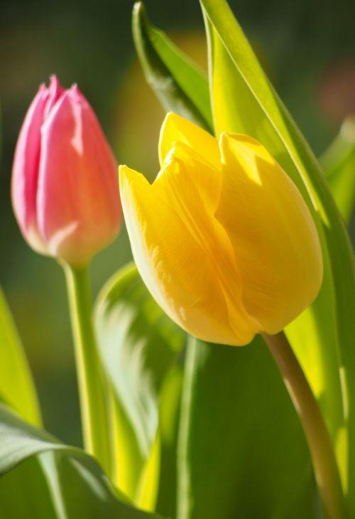 gėlės,tulpės,flora,pavasaris,gamta,augalas,Uždaryti,sodas,geltona,raudona,uždaryti vasaros sodą,žiedas,žydėti,rožinis