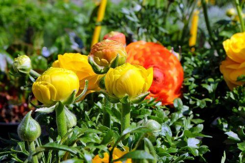 gėlės,ranunculus,geltona,oranžinė,augalas,pavasaris