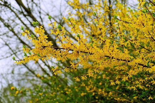 flowers spring forsythia