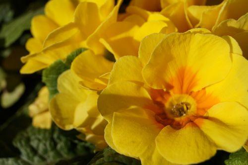 flowers primroses spring