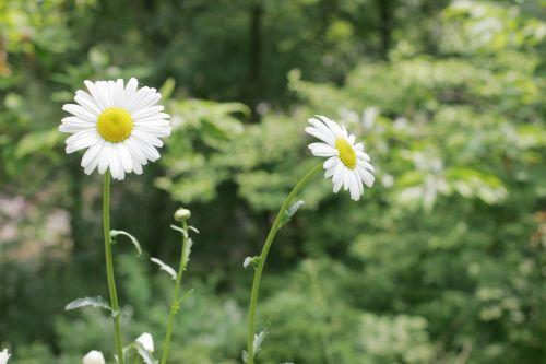 daisy flowers white flower