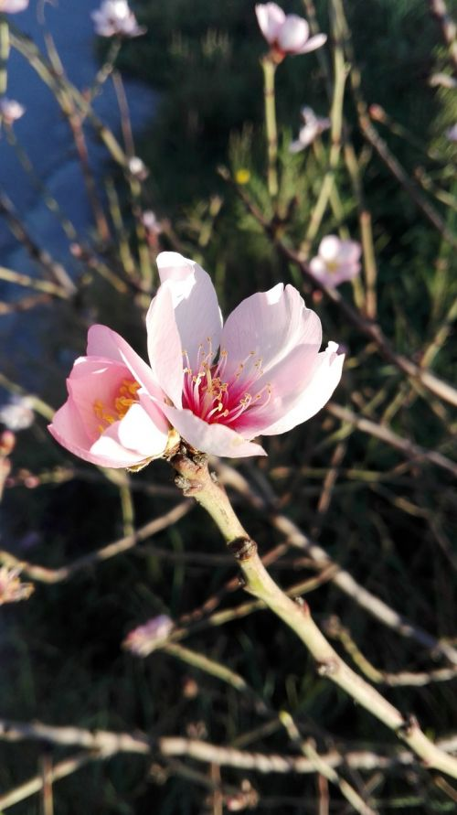 flowers almond tree spring