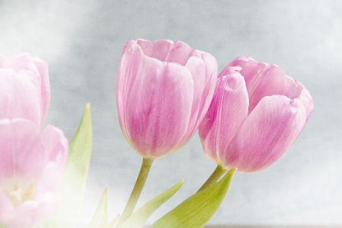 gėlės,tulpės,rožinis,rožinės gėlės,švelnus,romantiškas,pavasario gėlės,skintos gėlės,žiedlapiai,Uždaryti,pavasaris