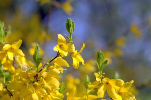 flowers bush yellow