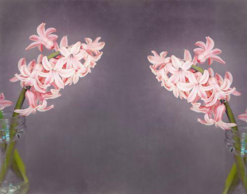 flowers hyacinth salmon pink