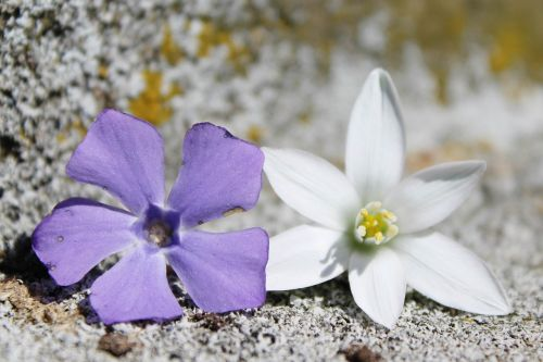 flowers,purple,white,background,purple flower,nature,plant,spring,close,stone,ground,moss,grey,old,weathered