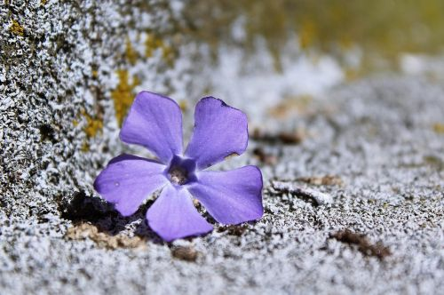 flowers,purple,background,purple flower,nature,plant,spring,close,stone,moss,grey,old,weathered