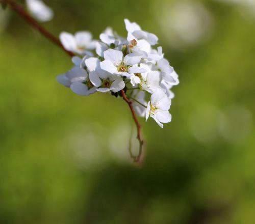 flowers spring white