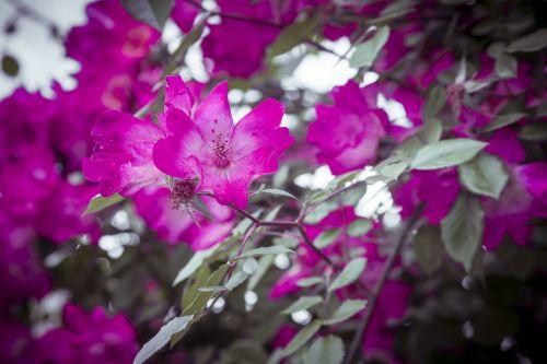 gėlės,raudona,violetinė,gamta,gražus,grožis