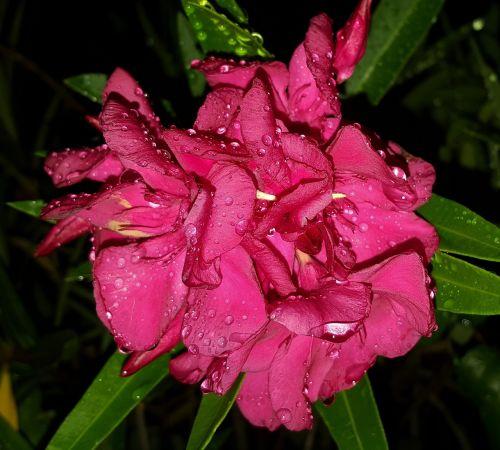 flowers oleander petals