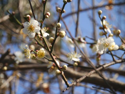 flowers,plum,spring,white,huang