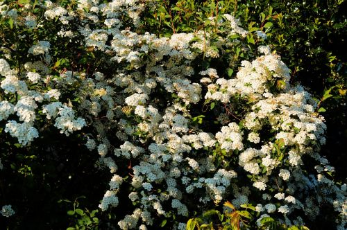 flowers white white flowers
