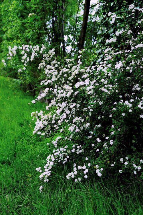 flowers white flowers spring