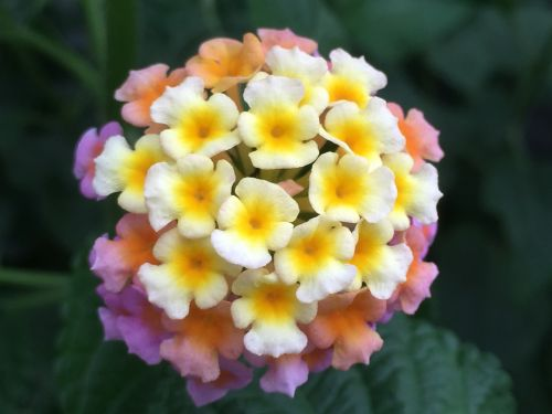 lantana camara tickberry big-sage