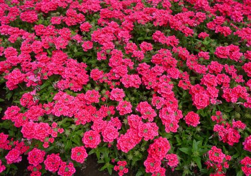 flowers red pink