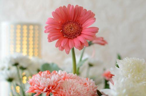 gėlės,Gerbera,rožinis,gėlių,žiedas,flora,žydėti,puokštė,vasaros gėlės,apdaila,žydi