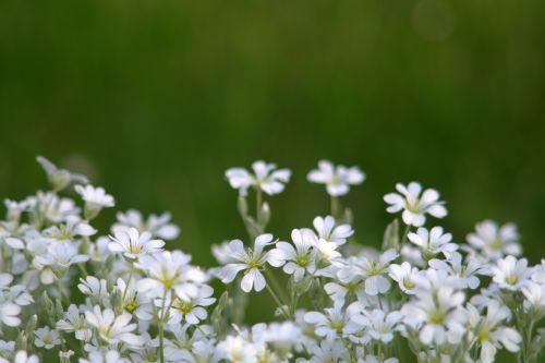 flowers little flowers white