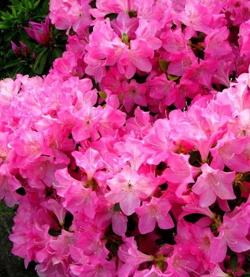flowers may satsuki