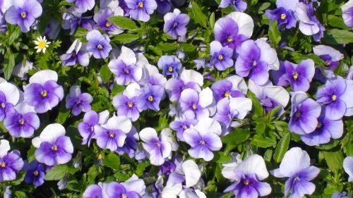flowers pansy sumire