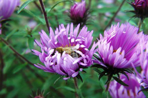 flowers asters violet