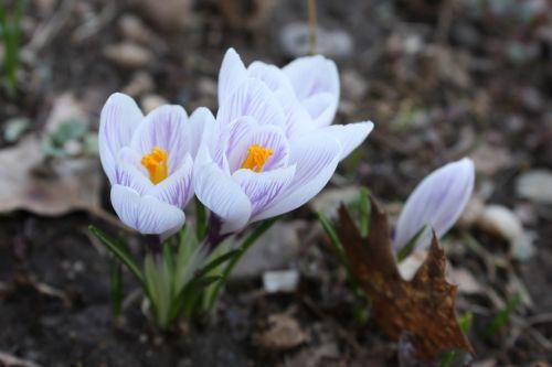 flowers crocuses spring