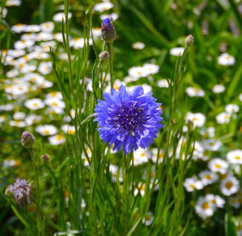 flowers blue blue-violet