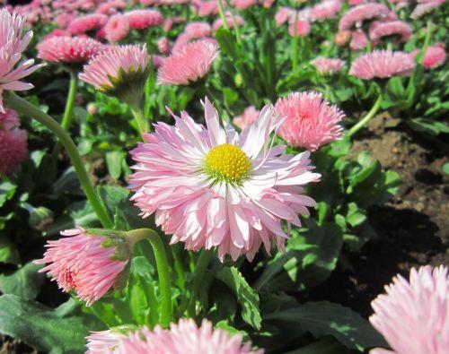 flowers pink leaf