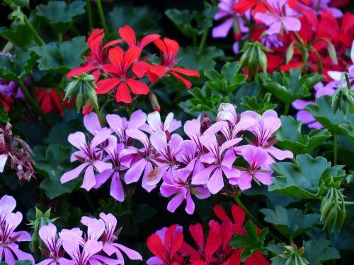 flowers geranium plant