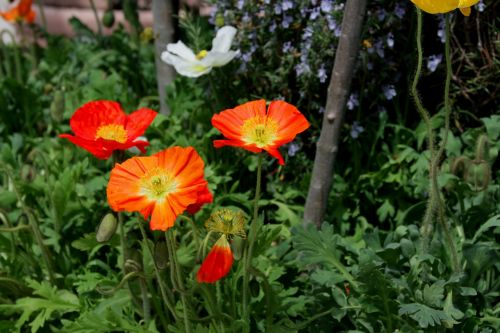 flowers poppy orange