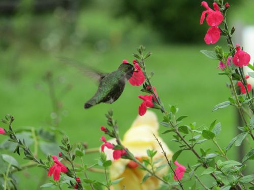 flowers bird hummingbird
