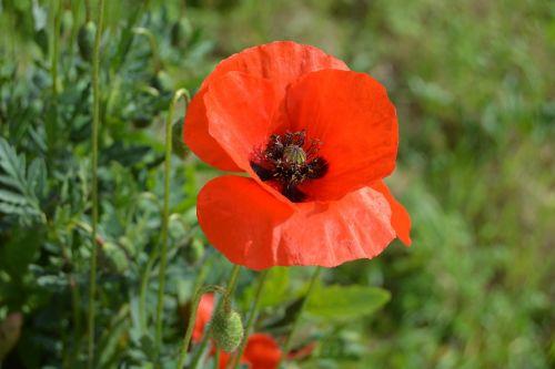 flowers poppy red