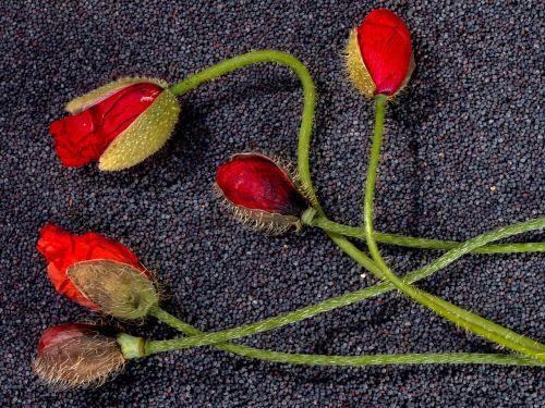 flowers poppy flower klatschmohn