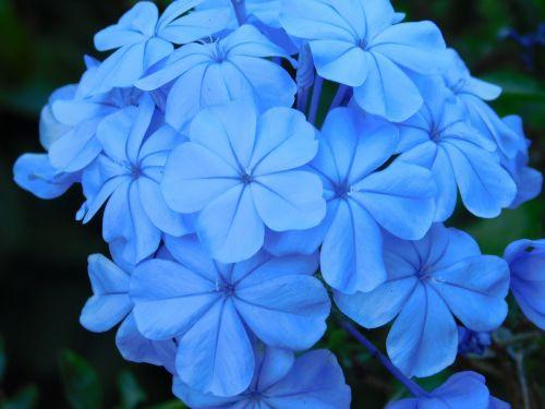 flowers blue blue flower