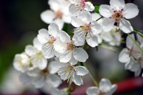 flowers cherry blossom variety wood