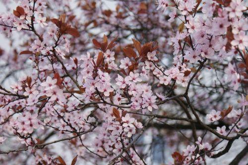 flowers cherry blossom flourish