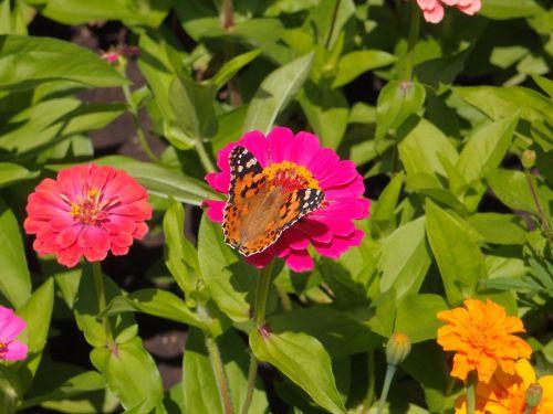 gėlės,sodo gėlės,geliu lova,rožinės gėlės,rožinė gėlė,drugelis,vabzdys,vabzdžiai,violetinė,dekoratyvinis,vasaros gėlės,vanessa cardui